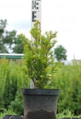 Taxus baccata 'Semperaurea' летом