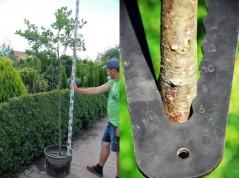 Арония черноплодная обхват ствола 6-8см
