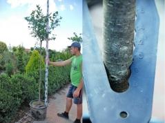 Арония черноплодная обхват ствола 8-10см