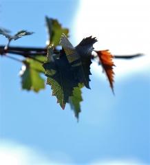 Береза бородавчатая Пурпуреа окраска листьев