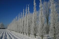 Граб обыкновенный Фастигиата (колоновидный) зимой