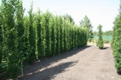 Граб обыкновенный Фастигиата (колоновидный) в поле