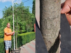 Ива Кильмарнок обхват ствола 14-16см