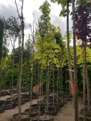 Acer platanoides Drummondii высота дерева  3,2-3,3м
