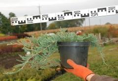 Можжевельник Вилтони диаметр растения 60см