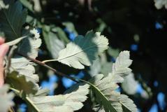 Рябина скандинавская окраска нижней части листьев