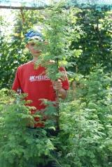 Метасеквойя глиптостробусовая / Метасеквойя китайская / Metasequoia glyptostroboides