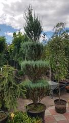 Можжевельник скальный Блю Арроу в садовом центре