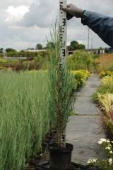 Можжевельник скальный Juniperus scopolorum Blue Arrow саженец