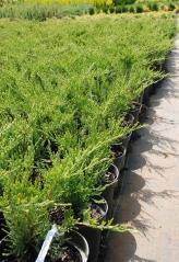 Можжевельник средний Juniperus pfitzeriana Mint Julep саженеці в контейнере