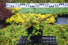 Berberis thunbergii Green Carpet купить