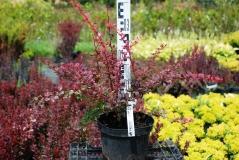 Berberis thunbergii Pink Queen котнейнерная площадка
