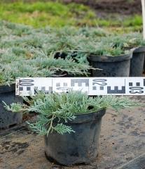 Можжевельник горизонтальный Гласиер диаметр растения 30см