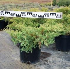 Можжевельник средний Голд Стар диаметр растения 50см