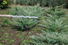 Можжевельник виргинский Хетц 90-100см в питомнике