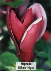Магнолия лилиецветная Нигра <br>Магнолія лілієквіткова Нігра <br>Magnolia liliiflora Nigra