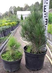 Сосна белокорая (Pinus leucodermis)