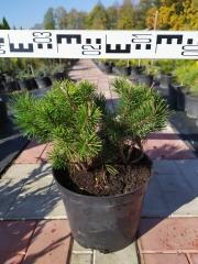 Pinus mugo Mughus лето