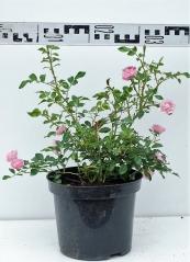 Роза полиантовая Фейри диаметр растения 40см