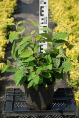 Калина складчатая Каскаде высота растения 40см