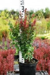 Барбарис 'Red Pillar' питомник растений в Киеве