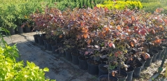 Бук лесной Атропуницеа Пурпуреа в питомнике