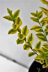 Бирючина овальнолистная Ауреум (окраска листьев)
