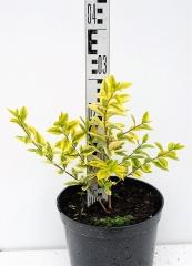 Бирючина овальнолистная Ауреум высота растения 30см