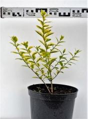 Бирючина овальнолистная Ауреум диаметр растения 30см