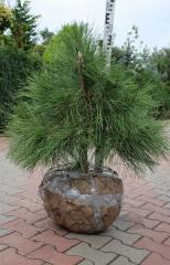 Сосна крымская (ком)