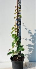 Девичий виноград триостренный Вича высота 70см
