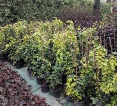 Девичий виноград триостренный Вича контейнерная площадка
