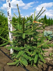 Picea abies Acrocona в питомнике
