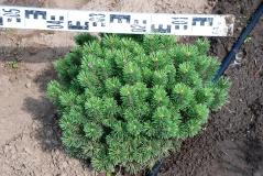 Pinus mugo Mops 0,4-0,5м