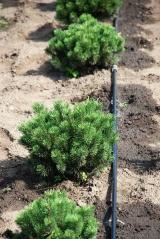 Pinus Mops посадка в питомнике