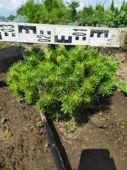 Pinus mugo Mops летом