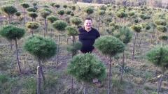 Сосна горная Мопс посадка в поле