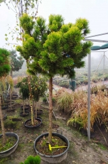 Pinus mugo Winter Gold на штамбе в садовом центре