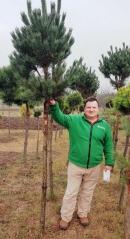 Pinus sylvestris Watereri шаровидная на штамбе
