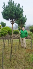 Pinus Watereri на штамбе купить