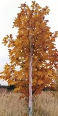 Клён остролистный 320см осенью
