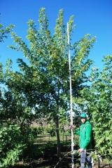 Клён серебристый обхват ствола 20-22см в питомнике