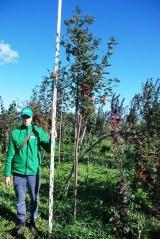 Рябина обыкновенная / Sorbus aucuparia 3,2м