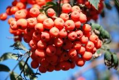 Рябина плоды