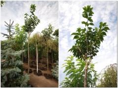 Сакура вишня мелкопильчатая Канзан высота 3,2-3,6м