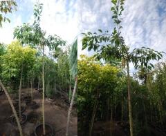 Сакура вишня мелкопильчатая Кику-шидаре-закура плакучая высота 2,4-2,7м