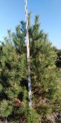 Сосна обыкновенная; Pinus sylvestris