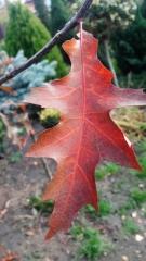 Дуб болотный цвет листа осенью