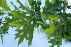 Дуб болотный листья летом
