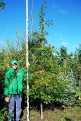 Дуб болотный 3,2м